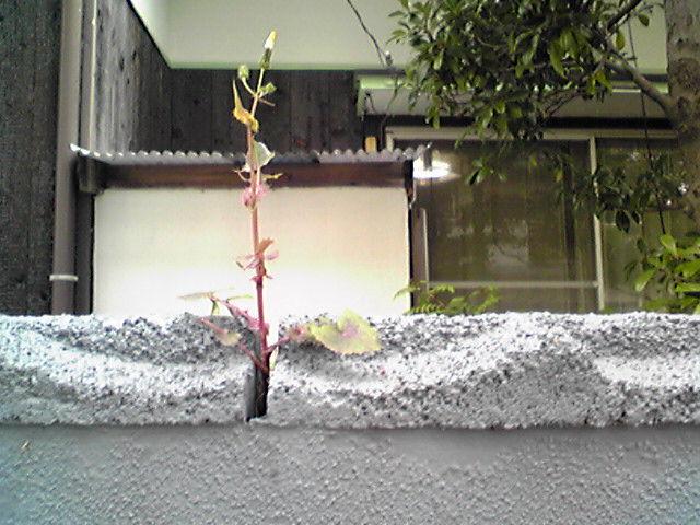 Takumasii